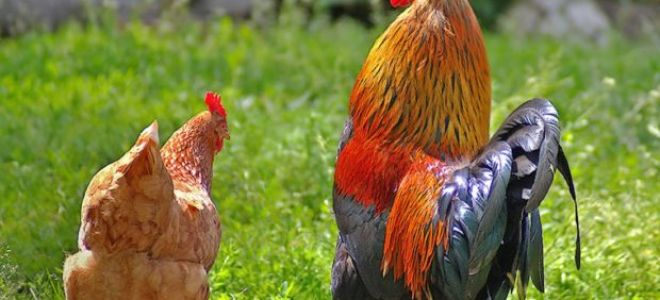 Нужен ли петух, чтобы курица снесла яйцо