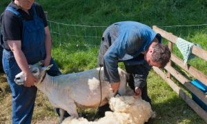 Устройства для стрижки овец – преимущества и обзор моделей машинок