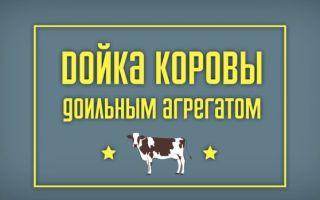 Дойка коров доильным аппаратом