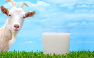 Правила доения коз и производительность молока в сутки
