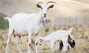 Особенности разведения коз