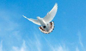 Особенности и разновидности бойных голубей
