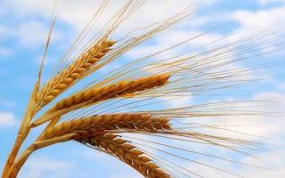 Строение соцветия пшеницы