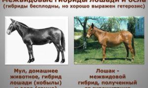 Отличие мула от лошака