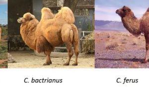 Ареал обитания верблюдов