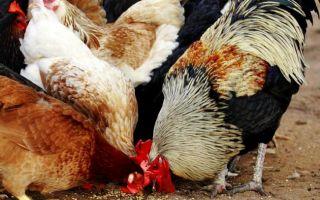 Советы по питанию кур