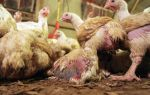 Куриные болезни