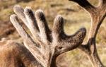 Полезные свойства рогов оленя