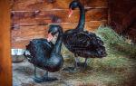 Как разводить лебедей в домашних условиях
