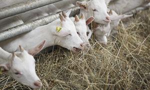 Таблица кормления козлят с первых дней жизни