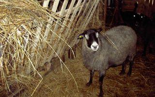 Кормим овец и делаем кормушки