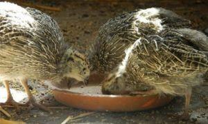 Чем питаются куропатки