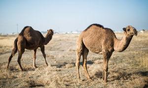 Описание нар верблюда