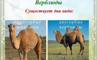 Интересное о верблюдах