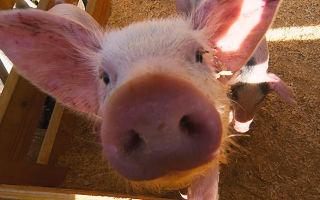 Самые распространенные в России породы домашних свиней