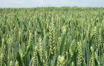 Технология возделывания пшеницы яровых сортов