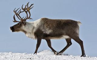 Обитание, описание и виды северного оленя