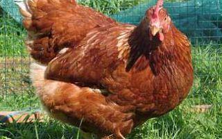Ломан Браун. Самая продуктивная порода кур