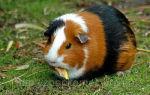 Лечение и профилактика запоров у морских свинок