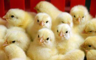 Самые распространенные болезни у цыплят