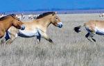 Описание лошадей Пржевальского