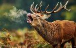 О благородном олене и его пользе для человека