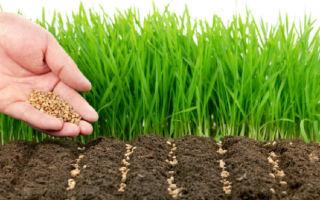 Когда и как сеять рожь: нормы высева