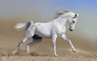 Лошади арабской породы