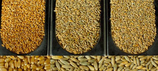 Разновидности сортов пшеницы