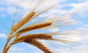 Строение и особенности колоса пшеницы