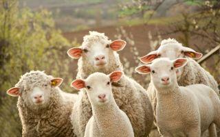 Процесс овцеводства в домашних условиях