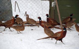 Сооружение вольера для фазанов своими руками