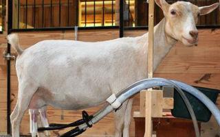 Доильный  аппарат для коз — упрощение труда
