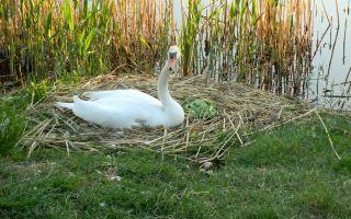Обустройство гнезда для лебедя