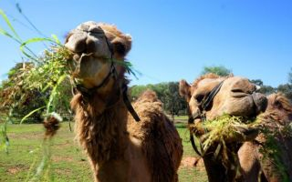 Особенности питания верблюдов