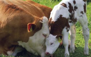 Какими методами можно осеменить корову в частном хозяйстве