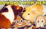 Что нужно делать, чтобы от морских свинок не воняло