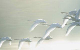 У какого лебедя самая длинная шея