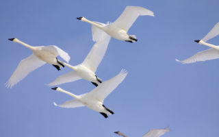 Пути миграции лебедей