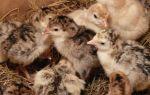 Выведение инкубационных яиц индейки дома