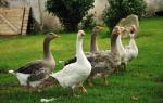 Что стоит знать о выращивании, кормлении и содержании гусей