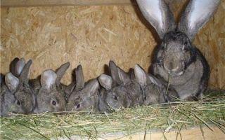 Чем кормить кроликов при домашнем содержании