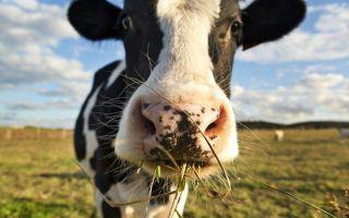 Виды кормов и режим кормления коров