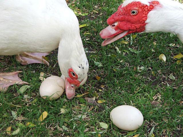 Индоутка с яйцами