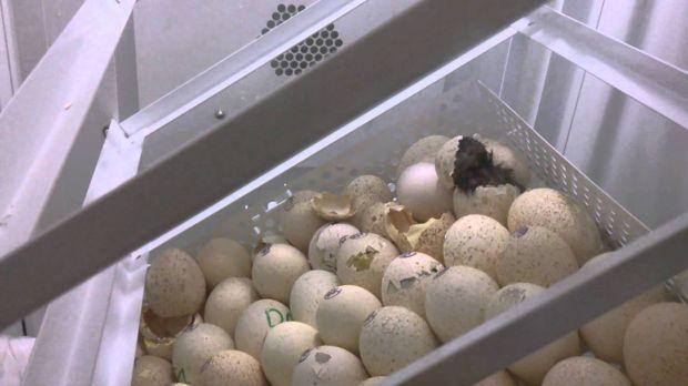 Инкубатор в домашних условиях индюшиные яйца