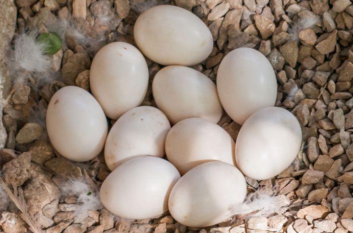 Яйца мускусной утки