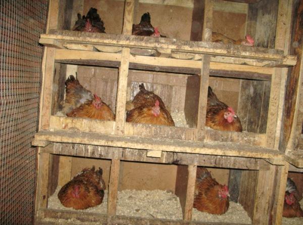 Как лучше сделать гнездо для курицы
