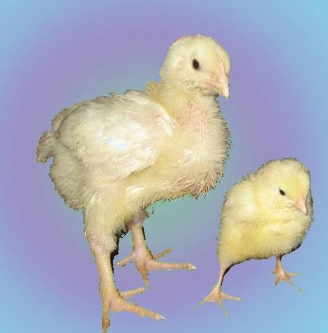 Бройлер и обычный цыпленок