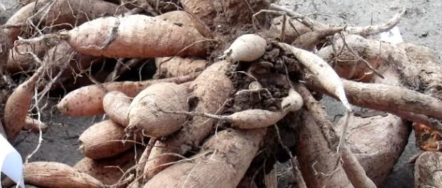 Выращивание индюков