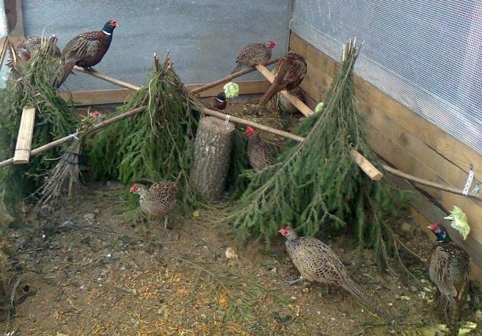 Зелень для фазанов